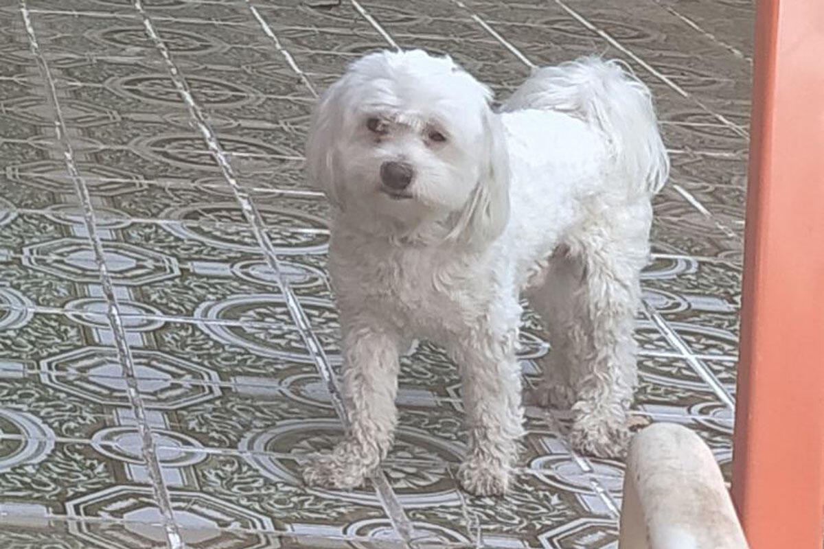 VLASNICI MOLE ZA POMOĆ: U Krčedinu nestao pas maltezer, odaziva se na ime Snupi