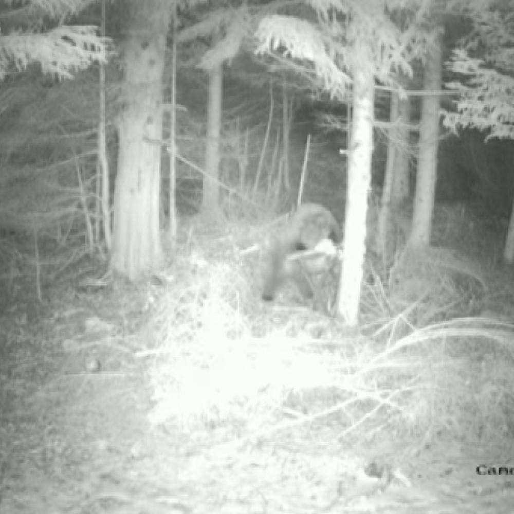 Mrki medvedi, Miloš i Mališa, na Jadovniku se probudili iz zimskog sna, a onda su na hranilištu Kašan večerali tri sata (FOTO)
