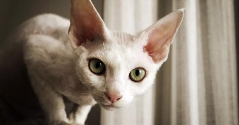 Vrste mačaka sa krupnim očima koje deluju tako simpatično baš zbog njih