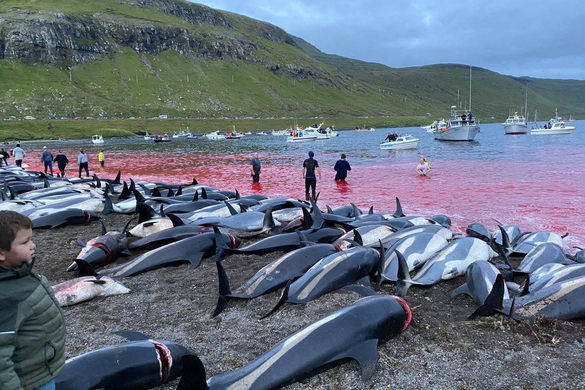 Skoro 1.500 delfina mučeno pa ubijeno na Farskim ostrvima