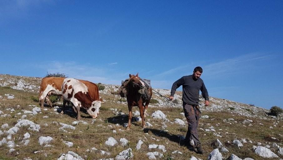 SAME TRAŽE PAŠU I VODU, BEŽE OD VUKA: Nekoliko decenija stočari podno Suve planine gaje 600 divljih krava na nesvakidašnji način