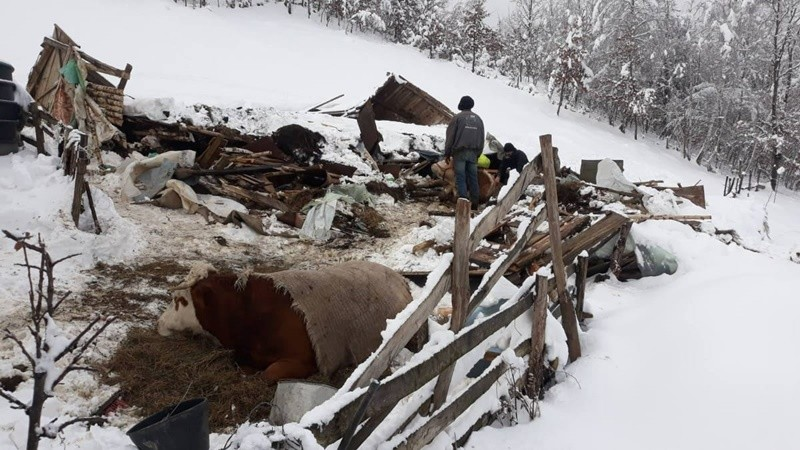 Туга у Бродареву: Од силине снега срушио се кров на штали, угушиле се три краве, а ветеринари боре за живот четврте