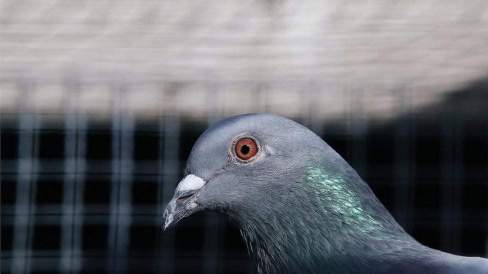 Australija, ptice i zdravlje: Golub koji je prešao Pacifik mora da bude ubijen