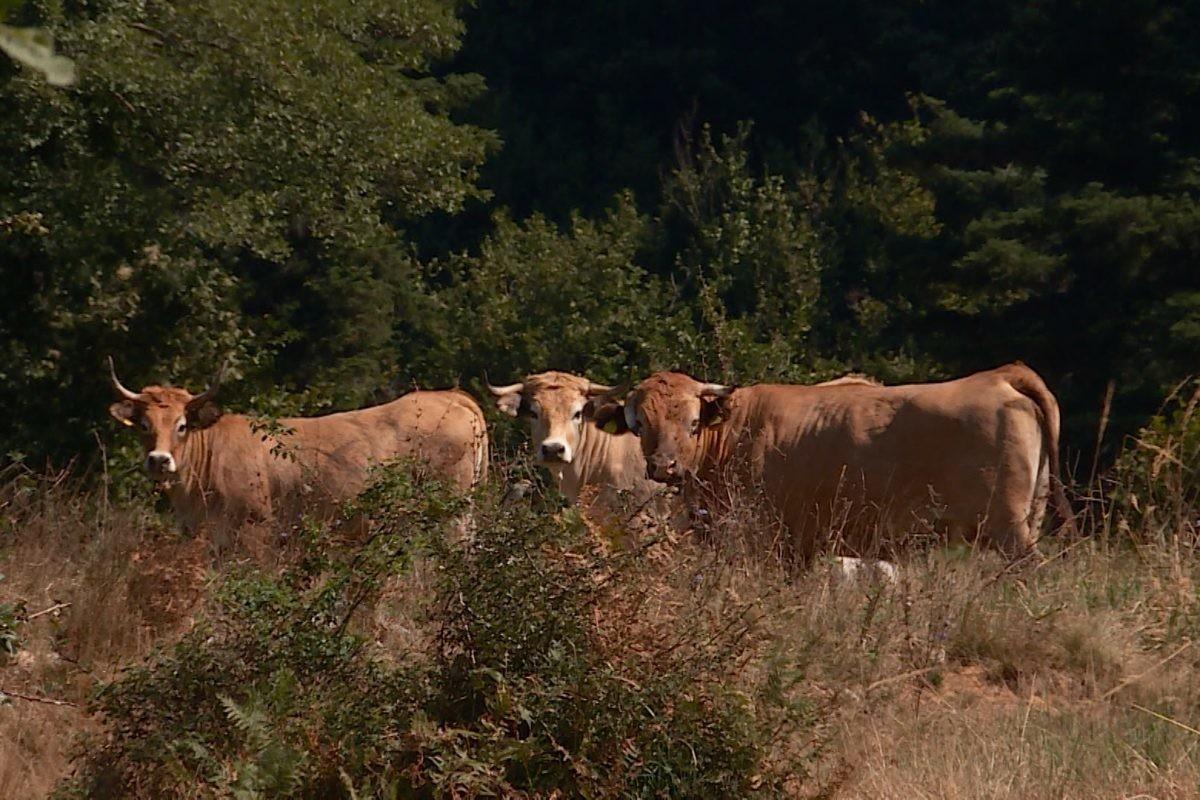 Aktivisti traže cisterne za krave i konje koji umiru od žeđi na Suvoj planini