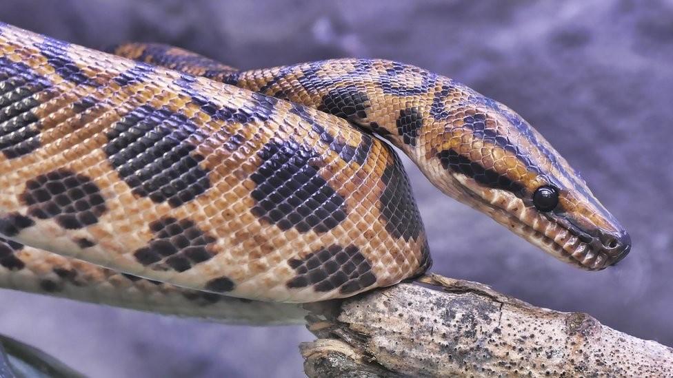 Životinje: Asteroid zbrisao dinosauruse, ali je zmijama dao šansu za novi i dugovečan život