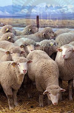 Koliko je važan odgovarajući odabir priplodnih grla u ovčarskoj proizvodnji