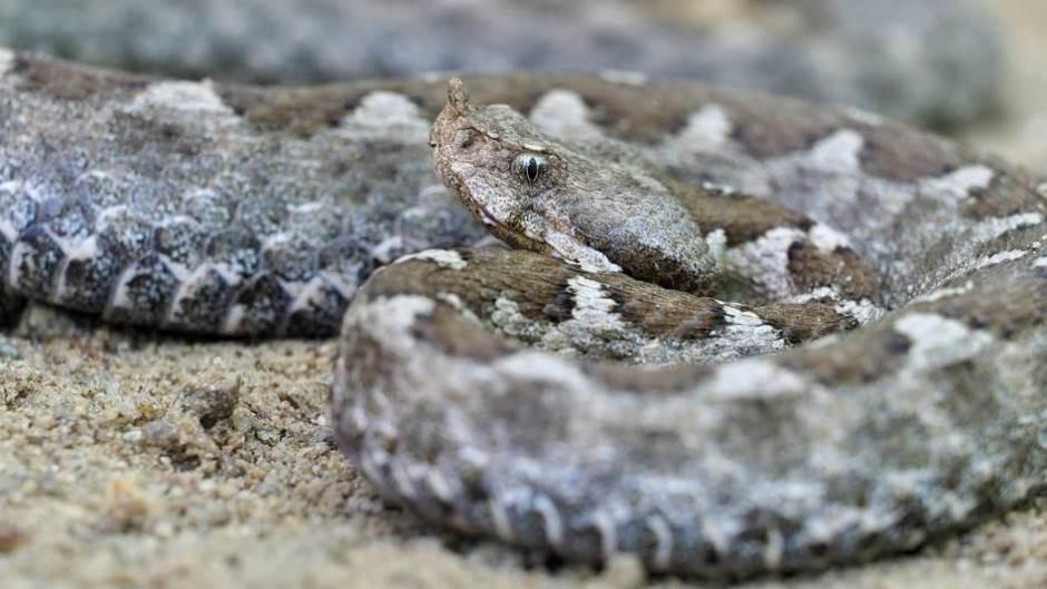 Naučnici od zmijskog otrova napravili lepak za brzo zaustavljanje krvarenja
