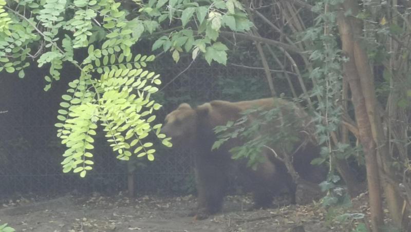 MEŠTANI STRAHUJU ZA SVOJE ŽIVOTE Ponovo medvedi haraju golijskim selima