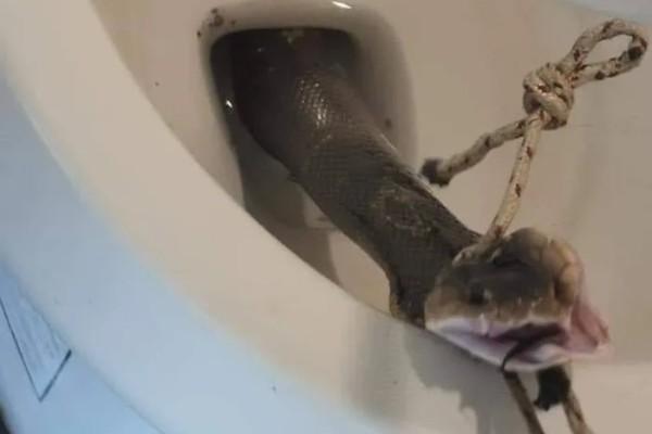 Velike zmije zbog kiša na Tajlandu izlaze iz wc šolja