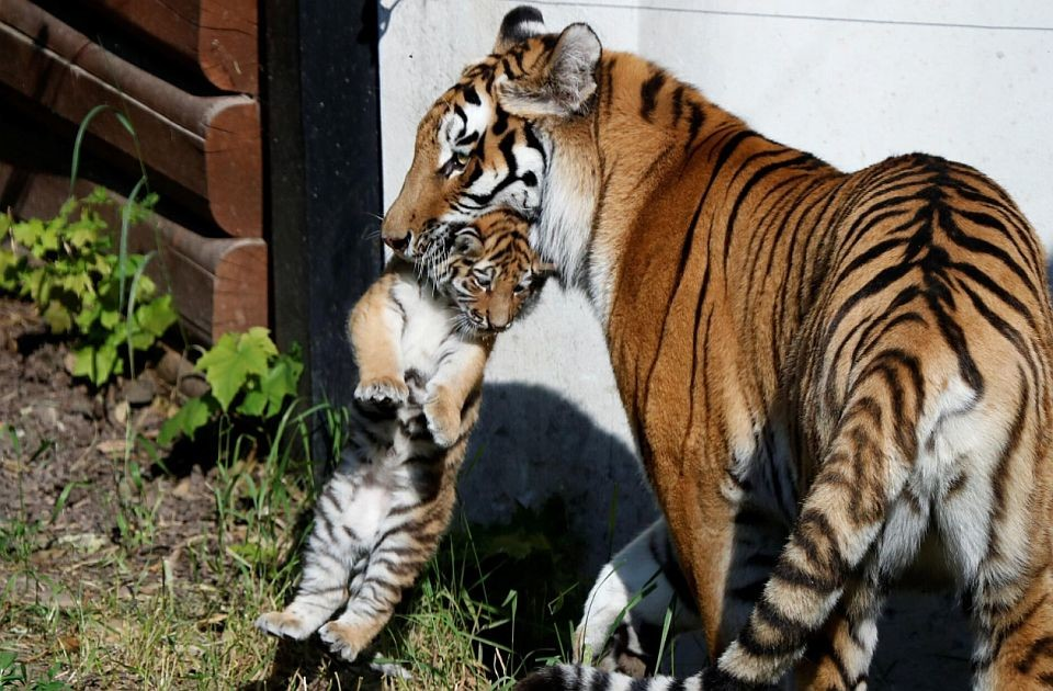 FOTO: Poljski zoo vrt predstavio mladunce sibirskog tigra, vrste koja je ugrožena