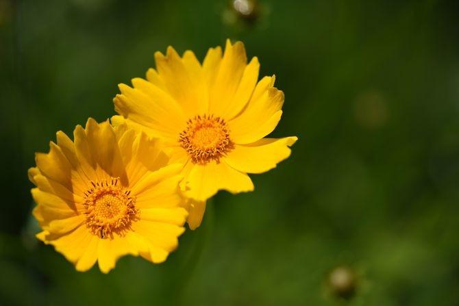 Raskošni cvet, obožava toplo vreme i jako sunce: Devojačko oko je biljka koja svima uspeva