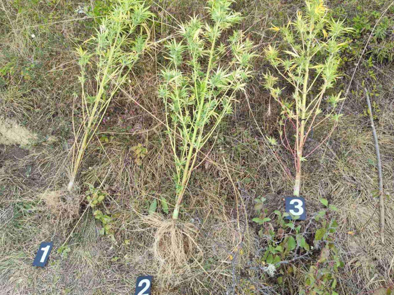 Muškarac iz Pirota osumnjičen za uzgoj marihuane, policija pronašla stabljike i semenke