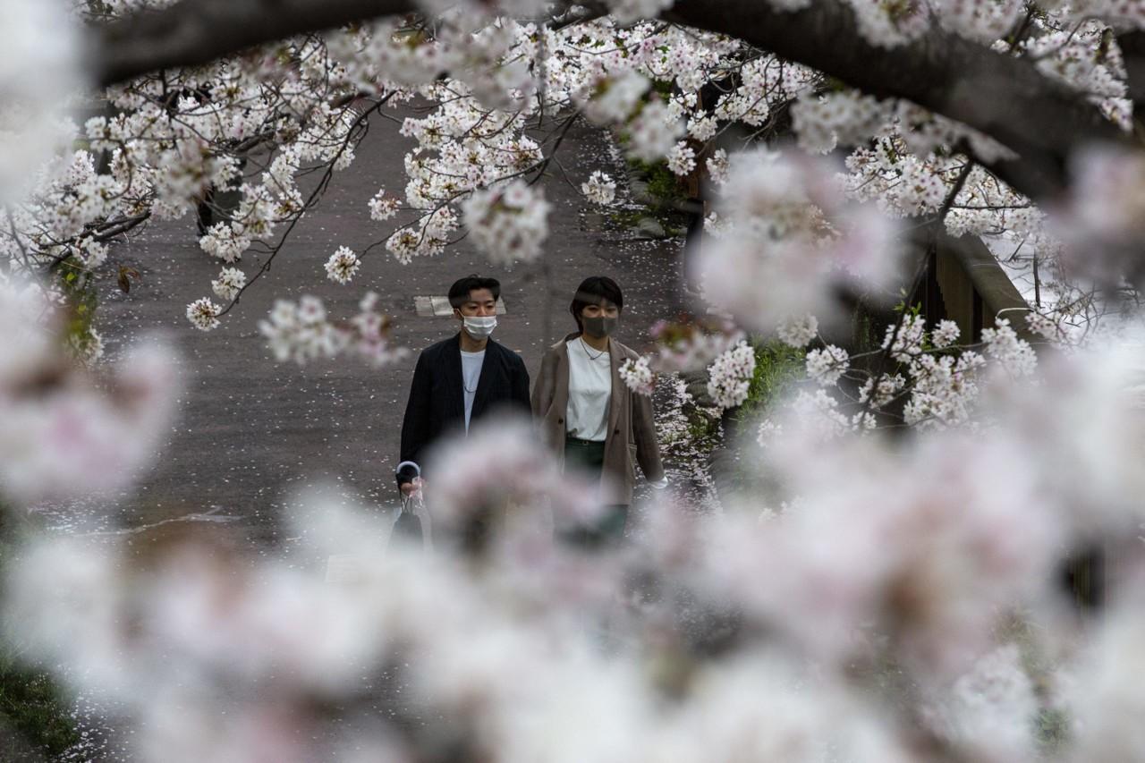 Japanska trešnja već procvetala, najranije u poslednjih 70 godina
