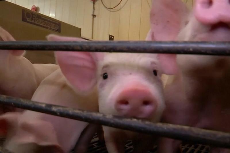 "Dogovoreno iseljenje farme svinja ""Temerin Agrar"" do kraja godine"