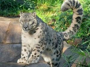 Невакцинисани леопард заражен коронавирусом у зоо-врту у Сан Дијегу