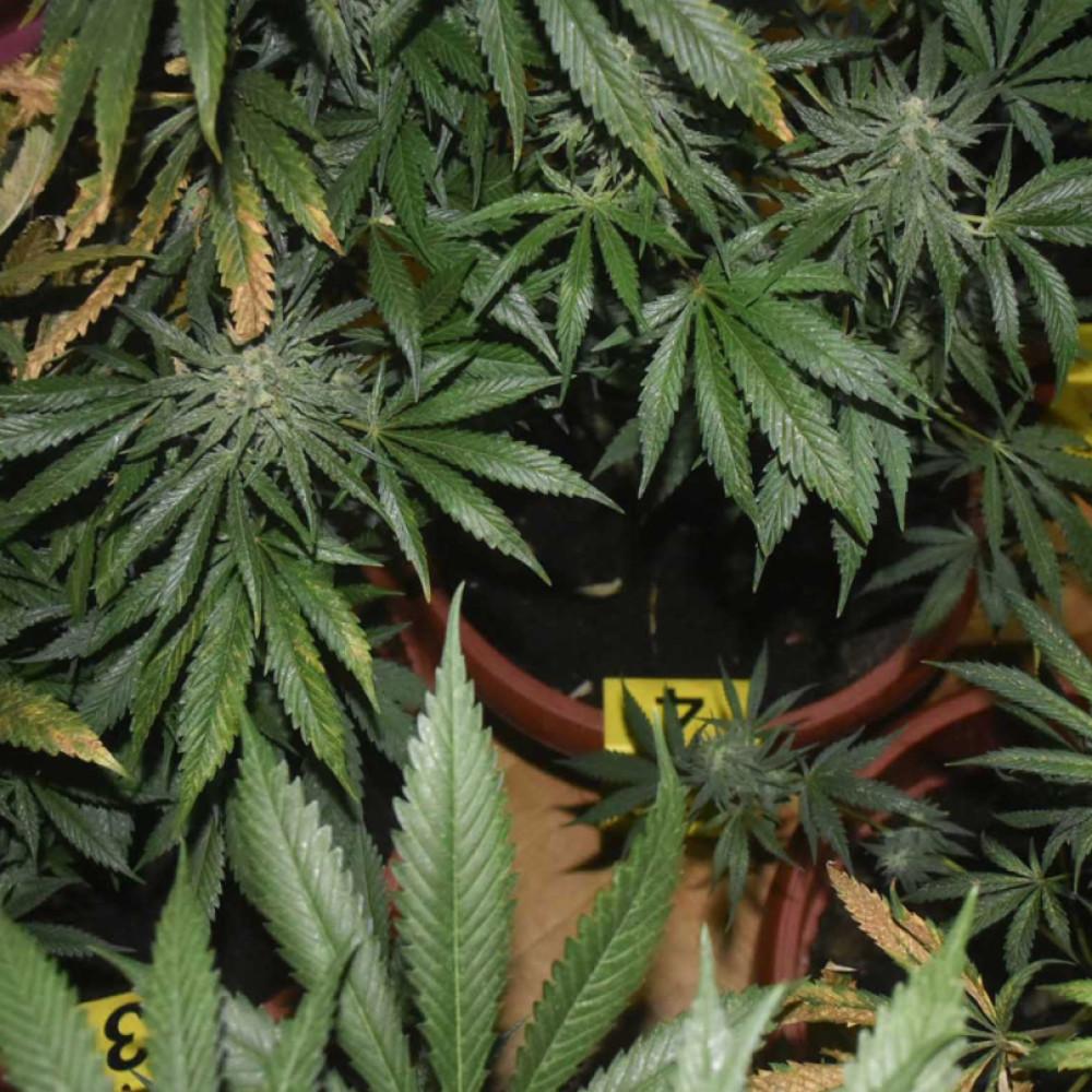 Njujork legalizovao marihuanu, postao 15. američka država koja je to uradila!
